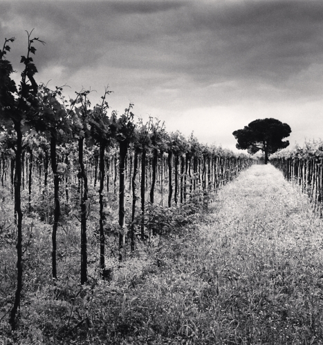 Vineyard and Stone Pine Tree, Cepagatti, Abruzzo, Italy.2016