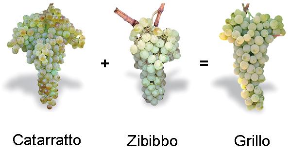 Catarratto-Zibibbo-incrocio-lafillossera
